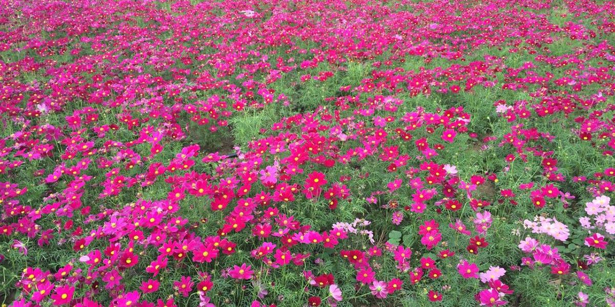 碧然美景观对芋地坑进行花田绿化改造工程